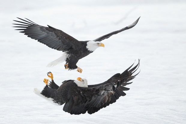 Bald eagles , Haines, AK. © Arash Hazeghi