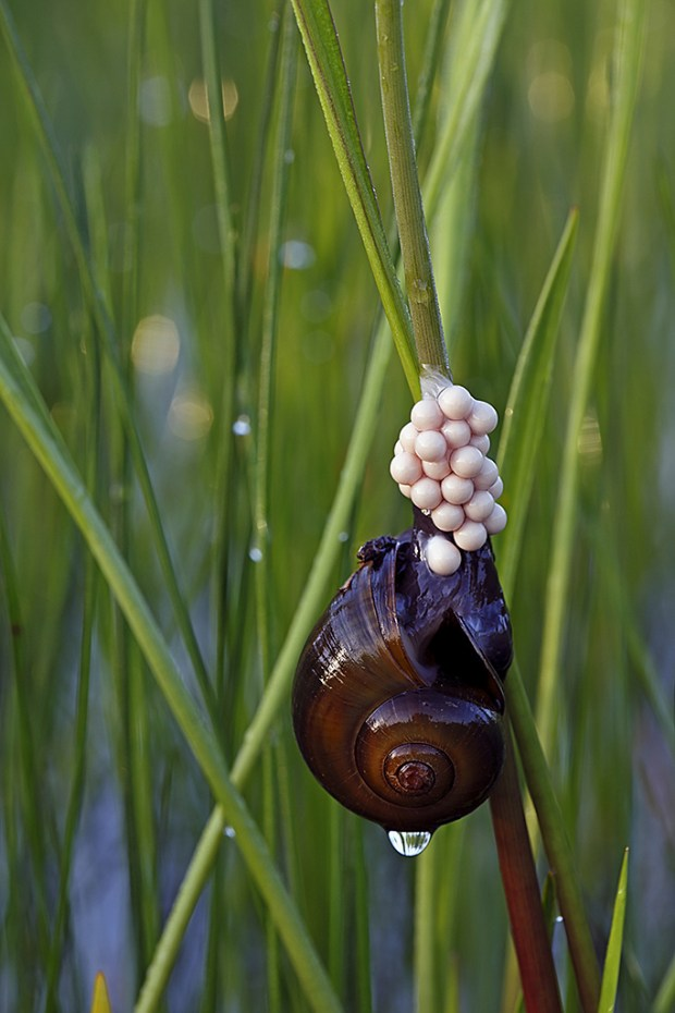 Florida Apple Snail Laying Eggs