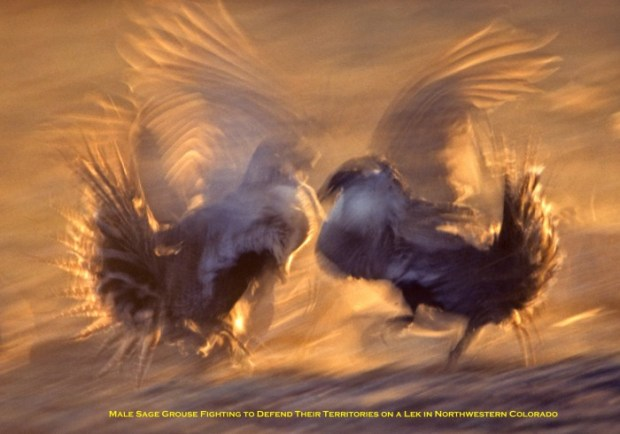 Sage Grouse Males Fighting © Budd Titlow