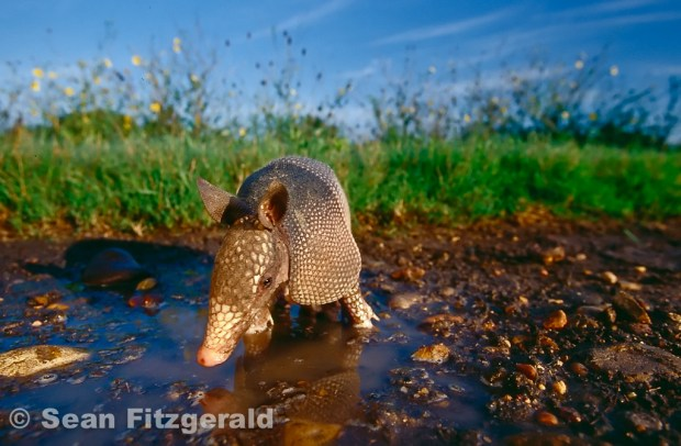 Armadillo portrait, wide angle.  Fennessey Ranch, Texas, USA