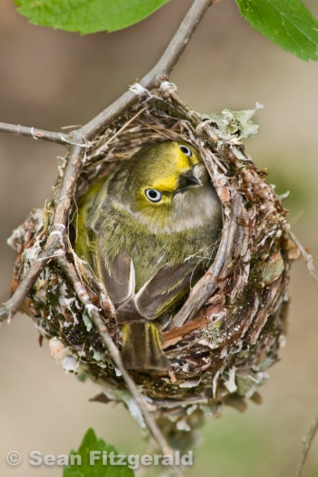 White-eyed vireo in nest, Petersen Ranch, Texas, USA