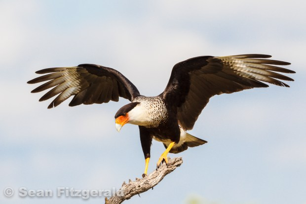 Crested caracara (Caracara cheriway), South Texas, USA