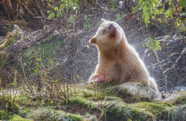 A spirit bear shakes water from its fur after a salmon meal. © Tim Irvin