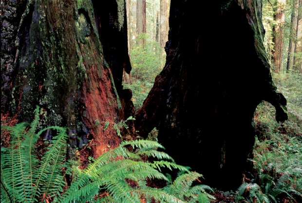 Two Redwoods on Damnation Creek Trail