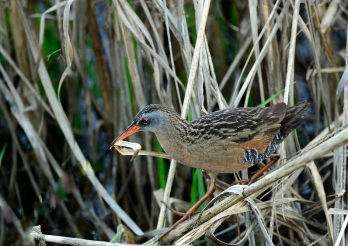 Virginia Rail gathering nesting material at Blackwater National Wildlife Refuge, Maryland.