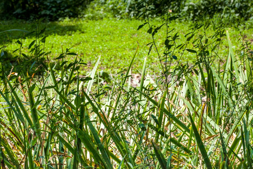 Wireweed in Iris Bed © Bonnie Marquette
