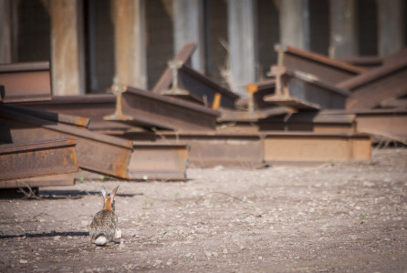 Desert cottontail at the border wall during construction in southern Arizona. © Krista Schlyer