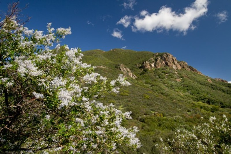 California lilac or ceonothus in bloom, Santa Monica Mountains National Recreation Area, California. Image © Rob Sheppard.