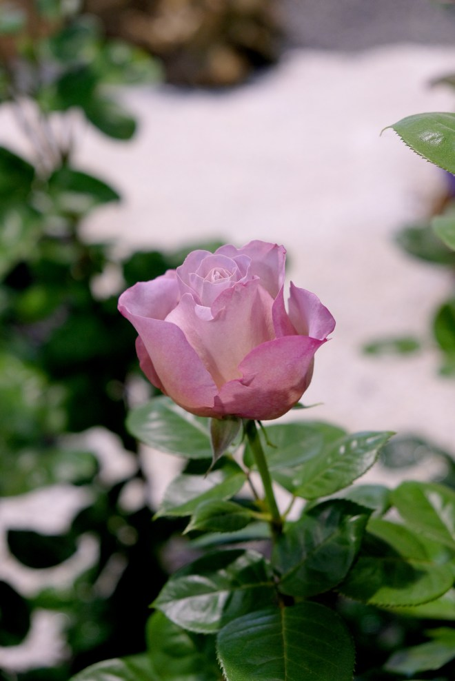 Rose aux Floralies de Nantes