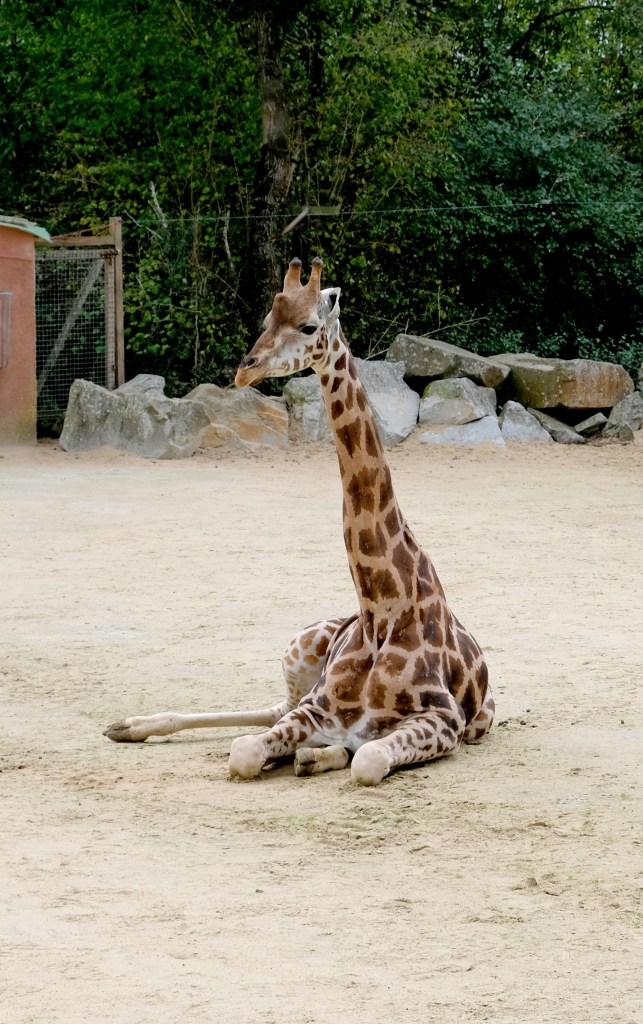 Girafe au zoo de la Boissière du Doré