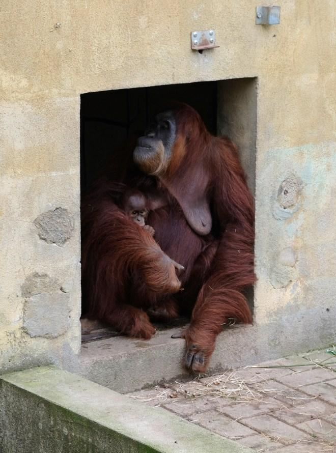 Orangs-outangs au zoo de la Boissière du Doré