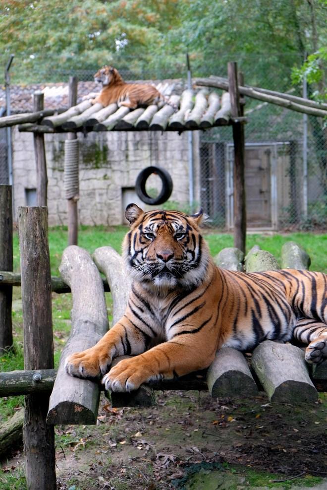 Tigre au zoo de la Boissière du Doré
