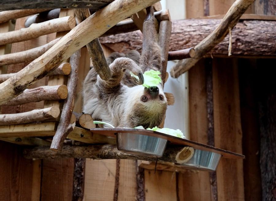 Paresseux au zoo de la Boissière du Doré