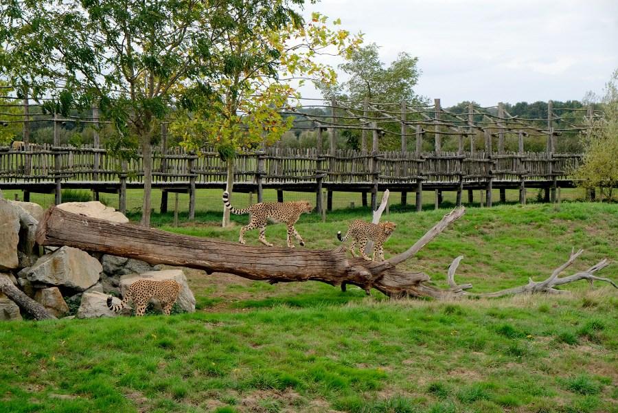 Léopards au zoo de la Boissière du Doré