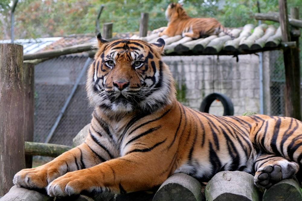 Le tigre du zoo de La boissière-du-doré, situé près de Nantes, en Loire-Atlantique