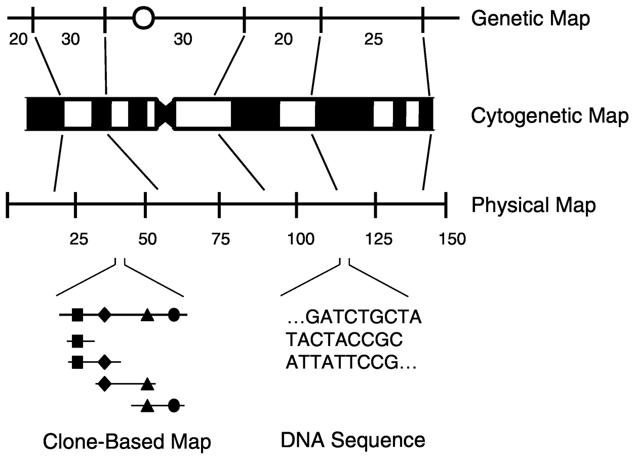 The Human Genome Project: Elucidating Our Genetic