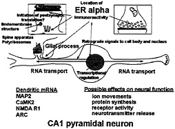 Tracking the estrogen receptor in neurons: Implications