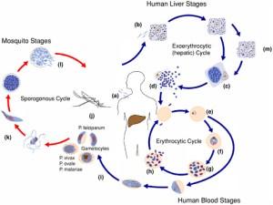 3 Epidemiology of Malaria | Malaria Control During Mass