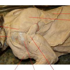 Cat Dissection Muscle Diagram Back Vga Monitor Cable Wiring Images Dorsal Shoulder Abdominal Vessel