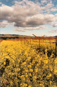 Winter mustard, Napa Valley