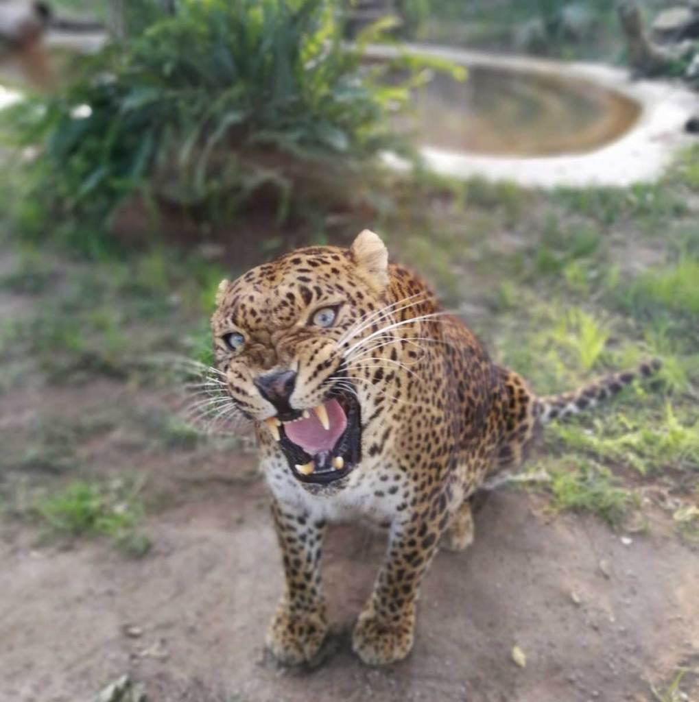 Pasqua allo Zoo di Napoli Leopardo Shankiri