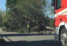 Caserta, crolla un albero: tragedia sfiorata per un pelo