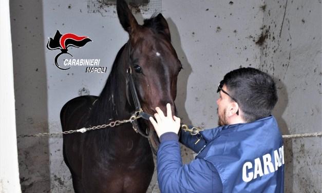 Cavallo da corsa dopato a competizione sportiva nell'ippodromo di Aversa