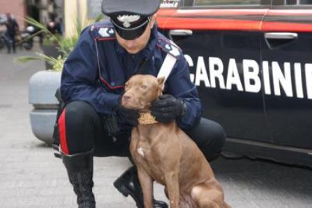 pitbull_napoli