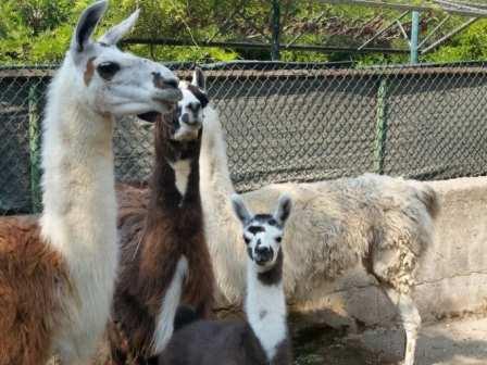 lama zoo