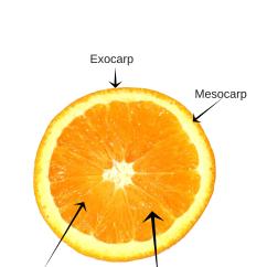 Parts Of An Orange Fruit Diagram Clipsal Cat6 Jack Wiring Anatomy