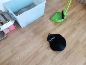 トイレ掃除待ちの猫