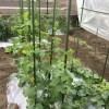 「家庭菜園」メロン栽培2016年6月