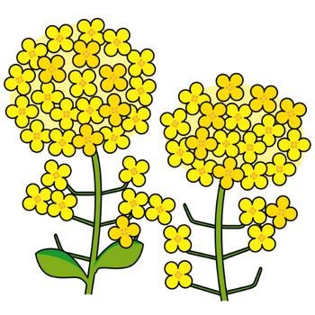 春の花3-10-菜の花-花の無料イラスト素材-イラストポップ