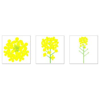 菜の花のイラスト一覧|無料イラスト素材 〜ちいさないきもの〜