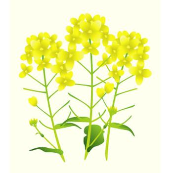 なのはな(菜の花)のイラスト:無料画像の素材屋花子