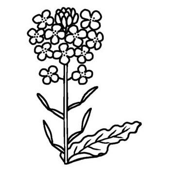 ナノハナ(菜の花)/春の花/無料【白黒イラスト素材】