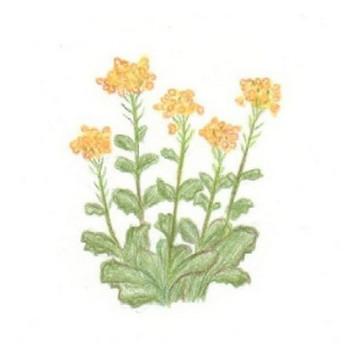菜の花 : イラストノート