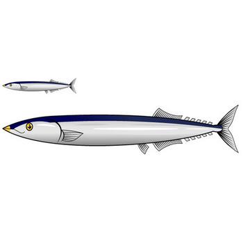 秋刀魚イラスト|かわいいフリー素材、無料イラスト|素材のプチッチ
