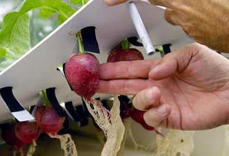 Radishes grown hydroponically