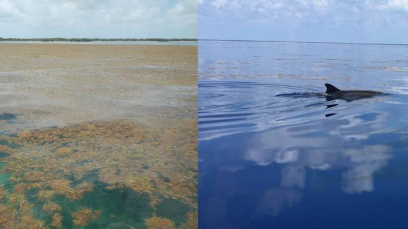 (Esquerda) Uma quantidade insalubre de Sargassum perto de Big Pine Key, na parte baixa de Florida Keys. Crédito: Brian Lapointe, Ph.D., Florida Atla