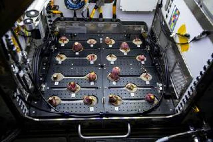 Photo documentation of radishes growing in the Advanced Plant Habitat on the International Space Station.