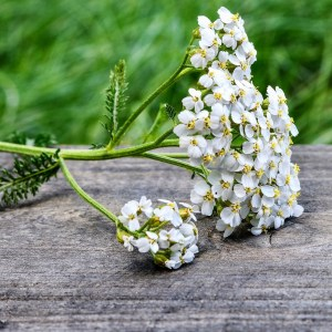 A Yarrow flower resting on a table