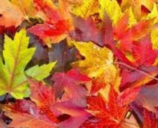 Yapraklar  Neden Renklerini Değiştirir?