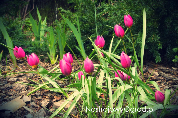 tulipany-botaniczne-1