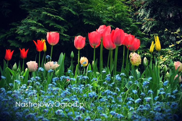 tulipany-odmiany-3