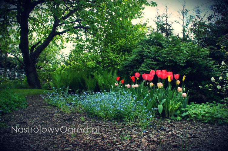 tulipany-odmiany-4