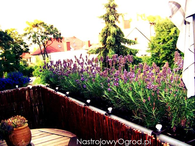 lawenda-na-balkonie-2