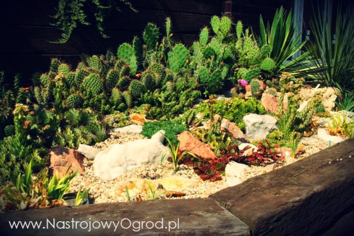 kaktusy-w-ogrodzie-2