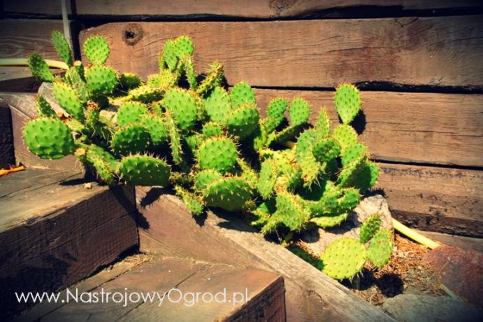 kaktusy-w-ogrodzie-4