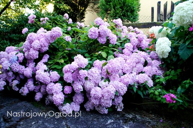 kwiaty-ogrodowe-wieloletnie-12